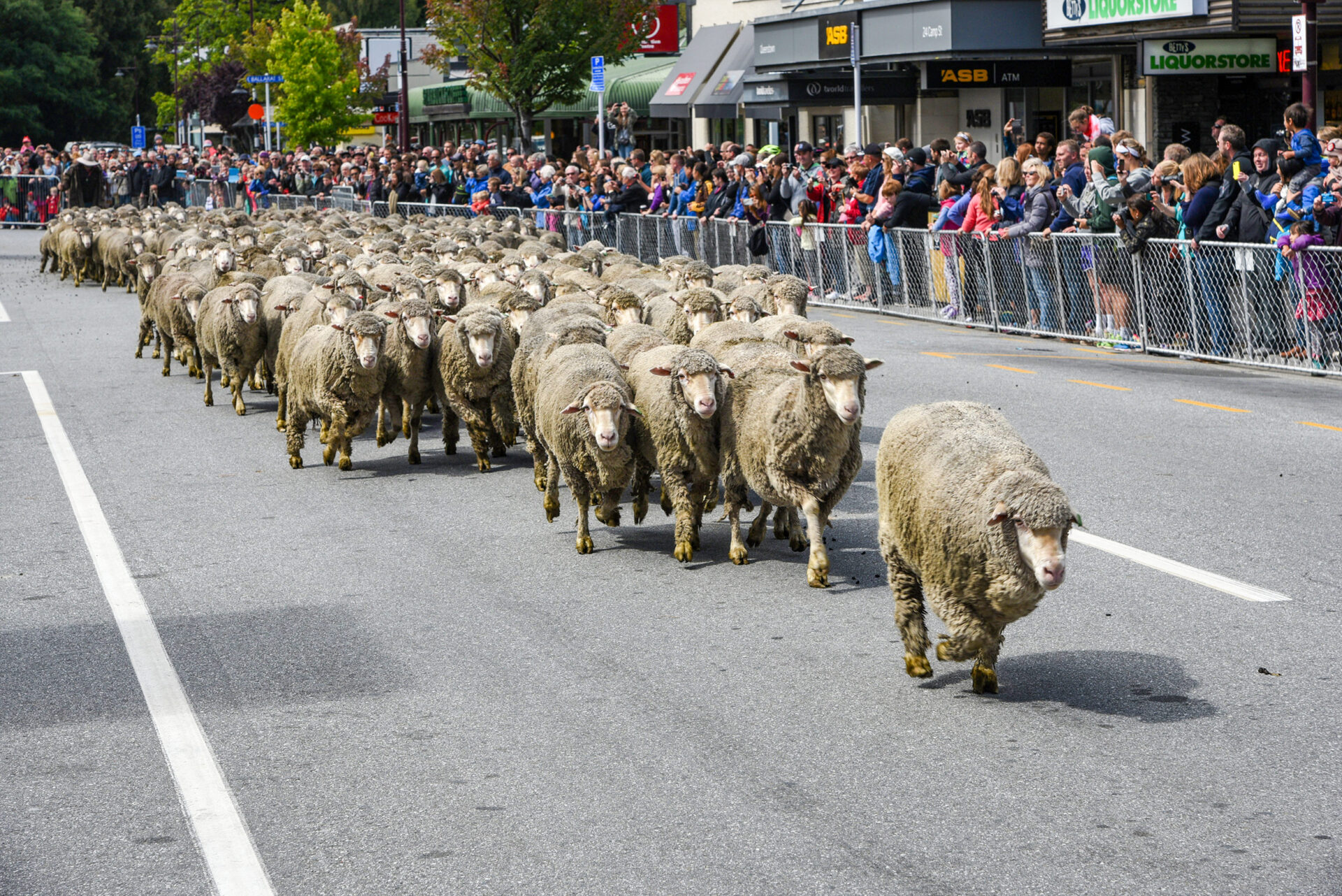 The-running-of-the-sheep